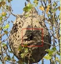 Photo d'un nid principal de frelon asiatique dans un arbre.