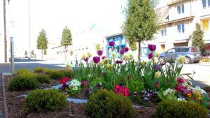Photo d'un parterre de fleurs, sur le boulevard Division LECLERC. Des tulipes mauves et jaunes ainsi que des primevères ainsi que les chênes verts qui bordent le boulevard.