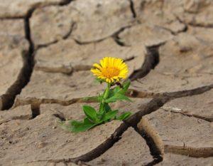 Fleur jaune sur sol très sec, craquelé